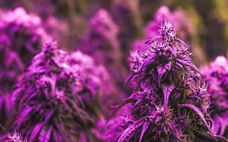 Purple-Kush-Growing