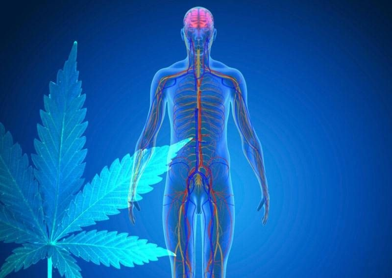 How-Does-CBD-Work-in-the-Body
