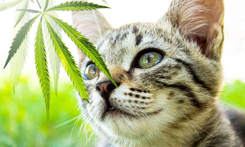 CBD Recommendation for Anxious Cats