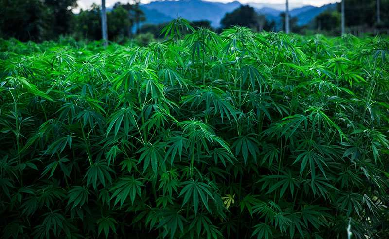 New Farm Bill Means to the CBD Industry